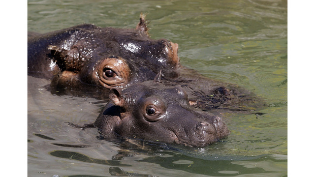 want a hippo for christmas the story of a girl who got one - All I Want For Christmas Is A Hippopotamus Ringtone