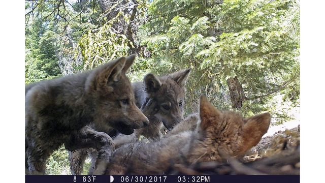 US plans end to wolf protections; critics say it's premature
