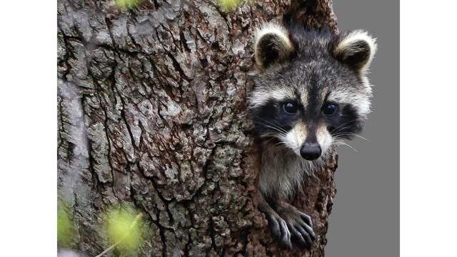 Chicago-area police warn of 'zombie raccoons' with distemper