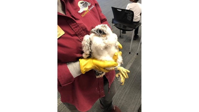Falcon chicks named, banded to track movements